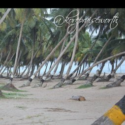 nature photograpphy coconut trees at the beach side KORE 1